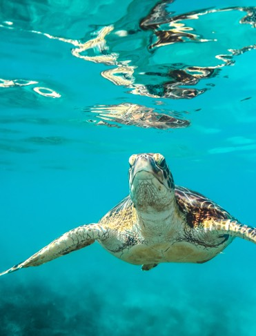 Sea Turtle Swimming Along Underwater in Barbados