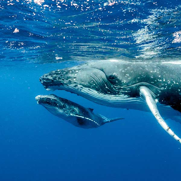 Whale Maldives