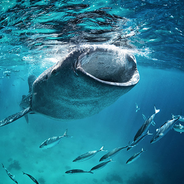 whale-shark-ceviche-tours