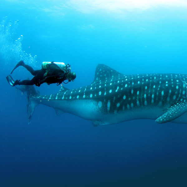 whale-shark-timing
