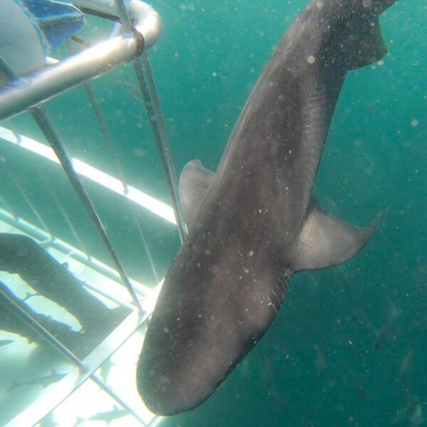 Cape Town African shark tours