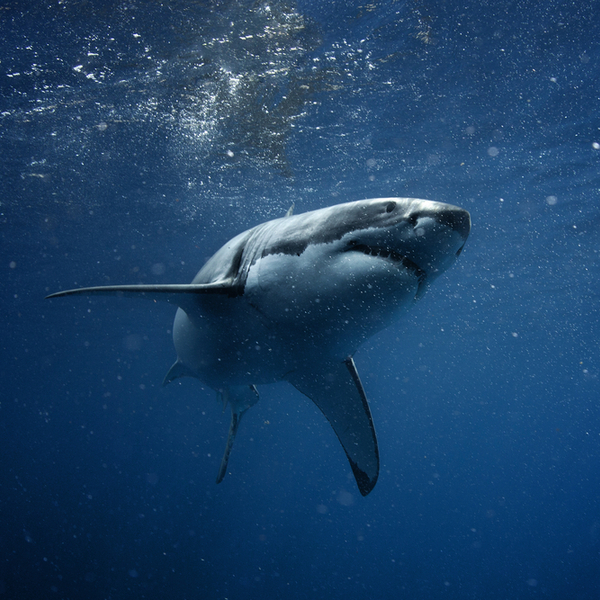 Cape Town great white shark