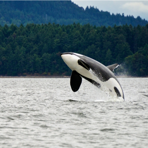 vancouver killer whale