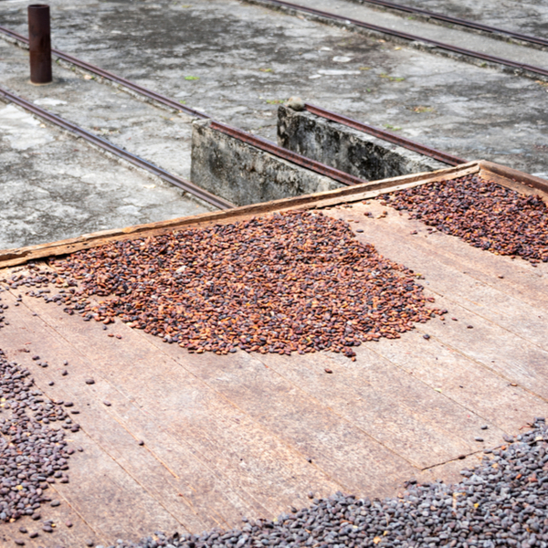 cocoa beans drying at spice estate in grenada