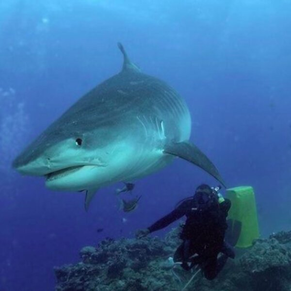 diver swimming next to shark in fiji