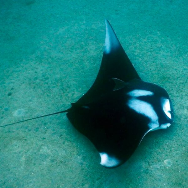 diving with manta ray in grenada