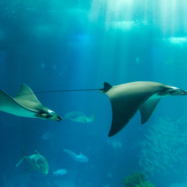 diving with manta rays at Drawaqa Island in fiji