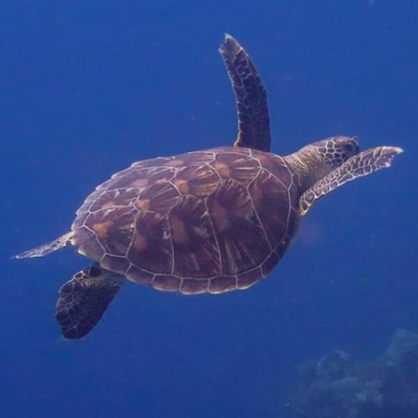 diving with turtle in fiji