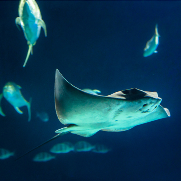diving with manta rays in fuerteventura