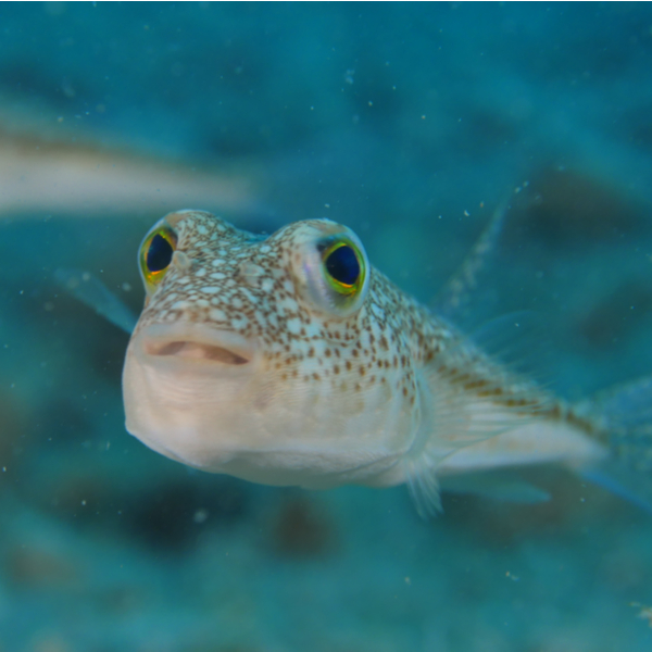 diving with puffer fish in fuerteventura