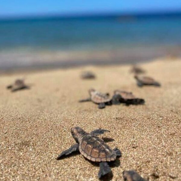 baby turtles making their way to the sea in jamaica
