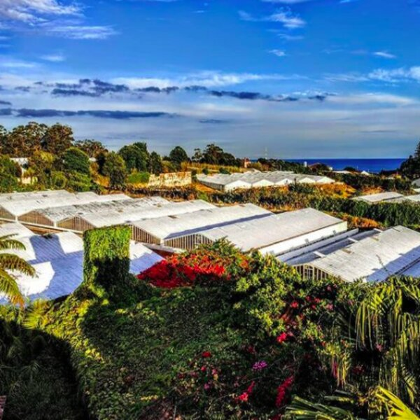 pineapple plantation in azores