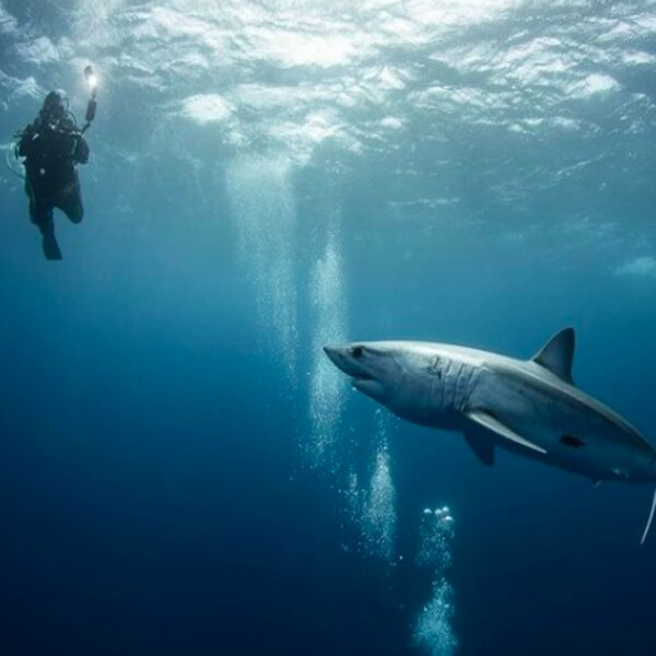 diver swimming with shark in the azores