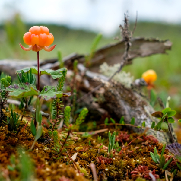 foraging for berries in lapland woodland