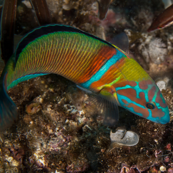 a colourful hogfish at a dive spot in azores