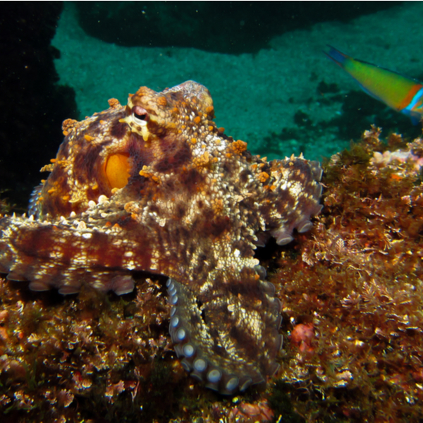 diving with common octopus in azores