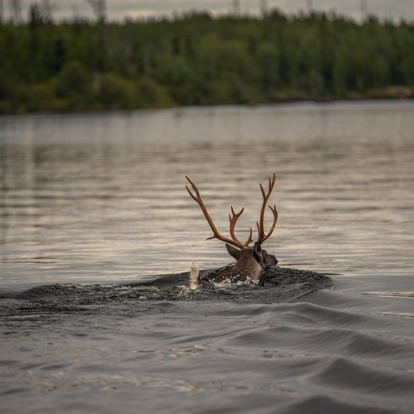 reindeer swimming in a lake in lapland in summer