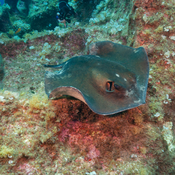 swimming with a common stingray in the azores islands
