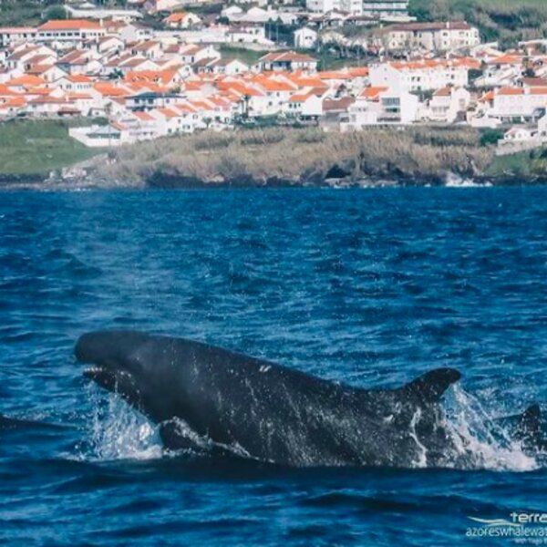 hump back whales on an azores whale watching trip