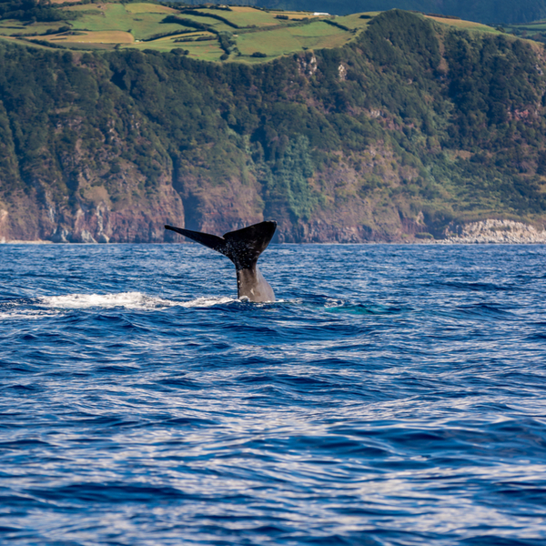 sperm whale jumping in azores
